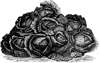 Cabbages.png