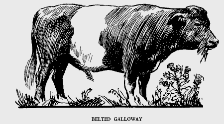 Beef-Belted-Galloway.png
