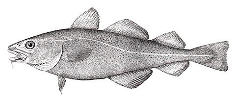 cod-fish002.jpg