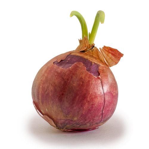 Onion_growing_shoots.jpg
