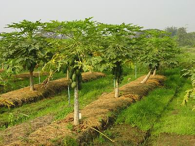 Papaya-Farm.jpg