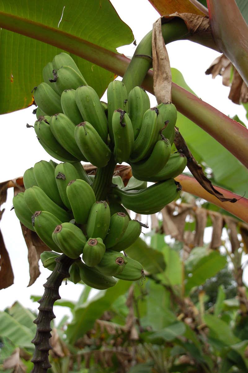 green-bananas.jpg