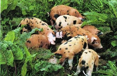 Heritage_Pigs.jpg