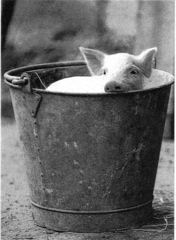 Pig_in_a_bucket.jpg