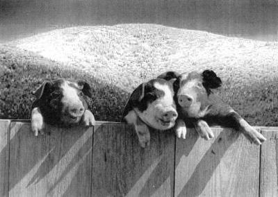 pigs_in_a_row.jpg