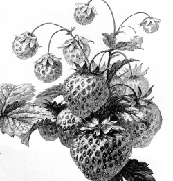 strawberries090.jpg