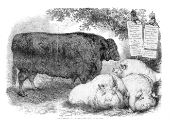 pigs-cattle005.jpg