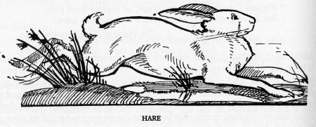 Rabbit_or_hare.jpg
