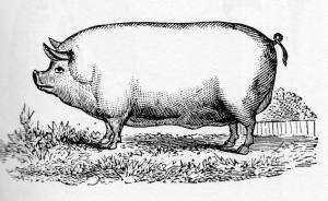 pig-left101.jpg