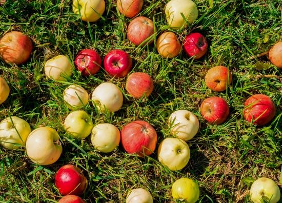 Windfall-Apples.jpg