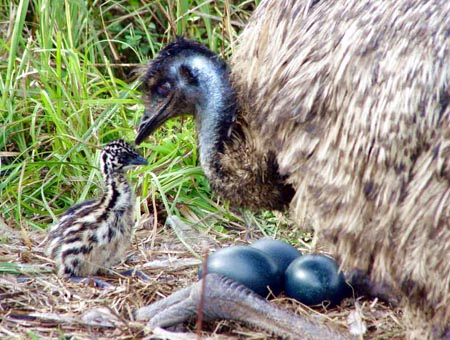 Emu Nest