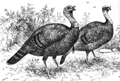 Wild_Turkeys_engraving.jpg