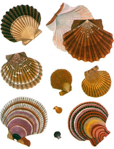 clams-scallops.jpg
