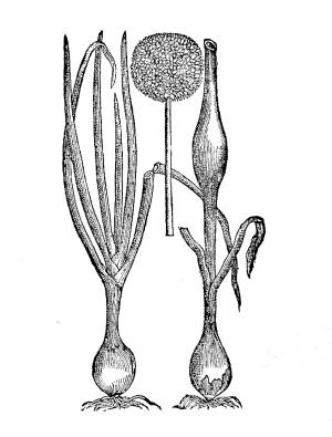onion_bulbs.jpg