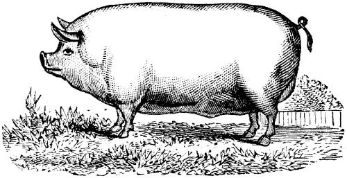 Pig-in-profile.jpg