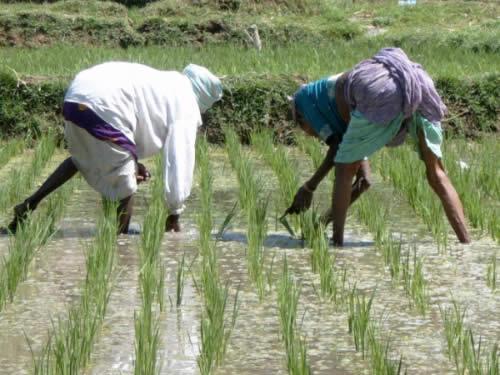 india_rice_paddy.jpg
