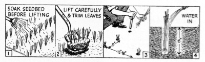 In regard to leeks... Soak seedbed before lifting - Lift carefully and trim leaves - plant rows 12in - 18in apart at 9in intervals at a depth of 6 inches - water in