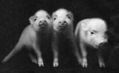 pigs-Real-Simple-11-11.jpg