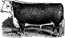 Cow Engraving
