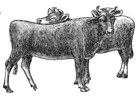 Two beef cows