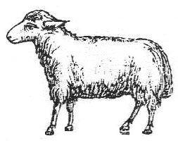 Sheep Graphic
