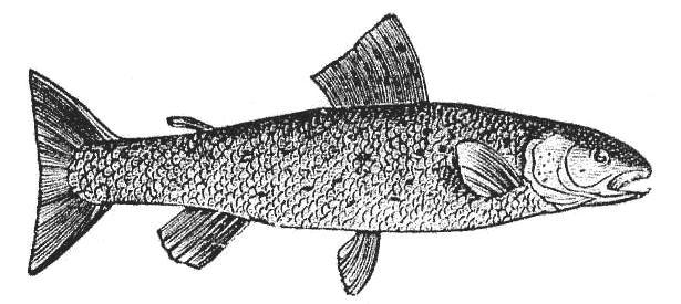 Trout Engraving