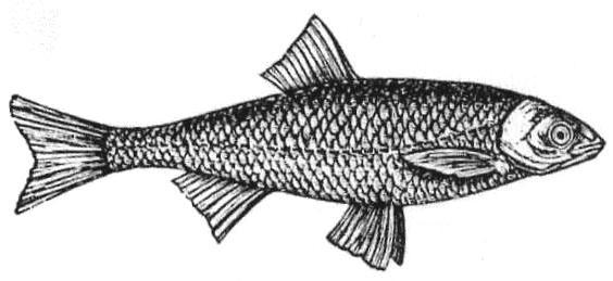 Fish Gardon Blanc